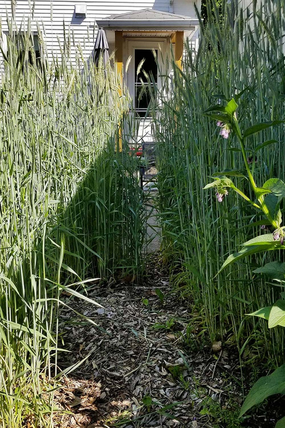 some gardeners i know think its crazy to plant a rye grass cover crop in my - Garden Cover